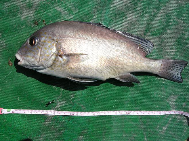 Kinane 釣魚報告: 今日去維港起釘