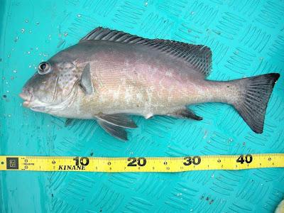 Kinane 釣魚報告: 年廿八去擔桿尋找壓歲魚過年團報告