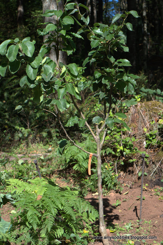 evergreen farm asian pears jpg 1080x810