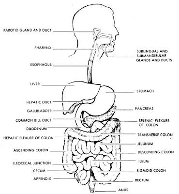 feliz: gastrointestinal tract