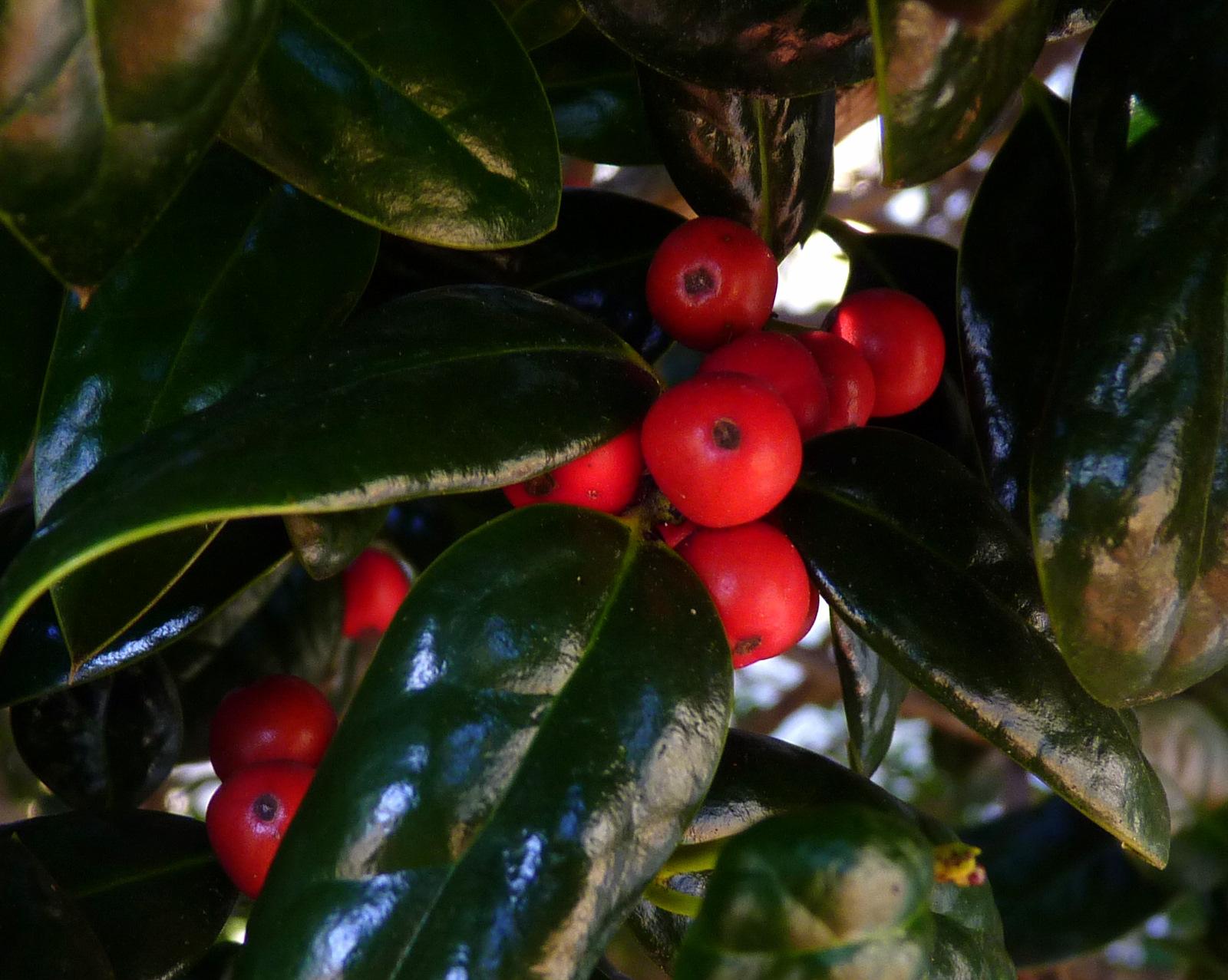 My Florida Backyard Holly Leaves And Christmas Trees