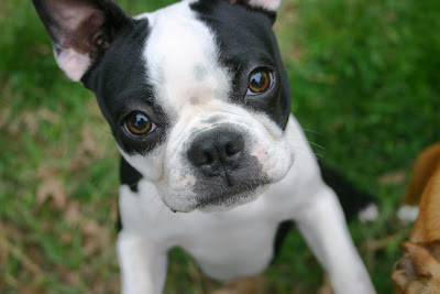 Cute look of Boston Terrie dog