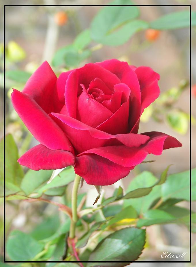 Ddl2 Rad Rose