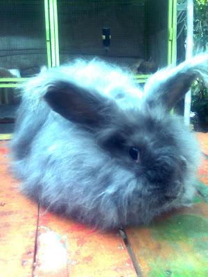 rabbitry kelinci