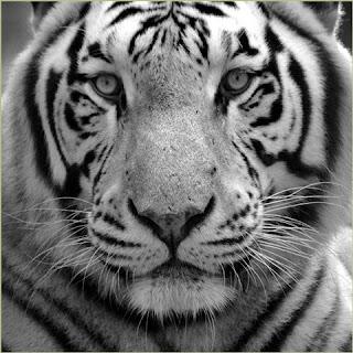 tijger zwart wit