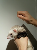 Ferrets in the North: How to scruff your ferret