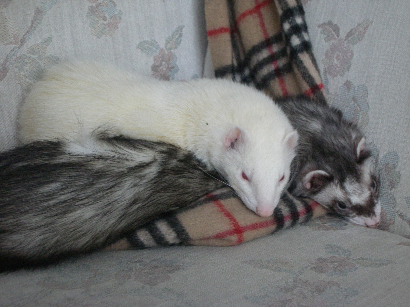 ferrets in the north colour me ferret technical names for ferret