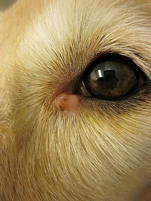 Koiran Histiosytooma