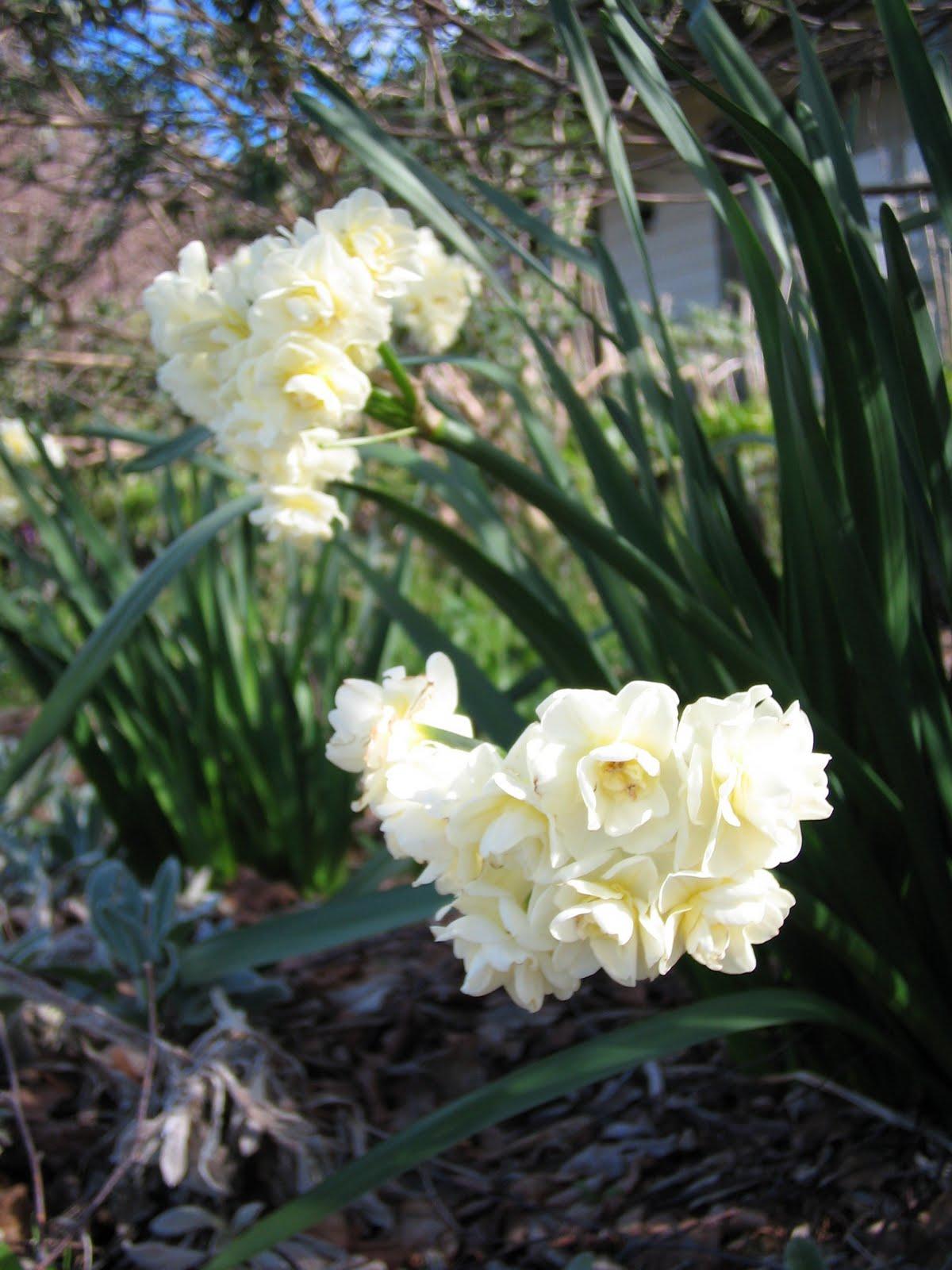 Garden Bush: Marcelle Nankervis: Top 10 Fragrant Plants For Spring