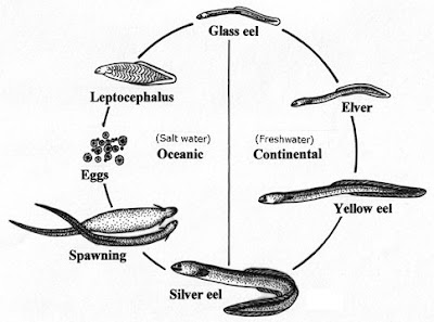 The Lazy Lizard's Tales: Freshwater eels (Anguillidae)