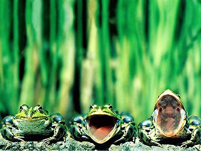 Ribbit Singing Frogs