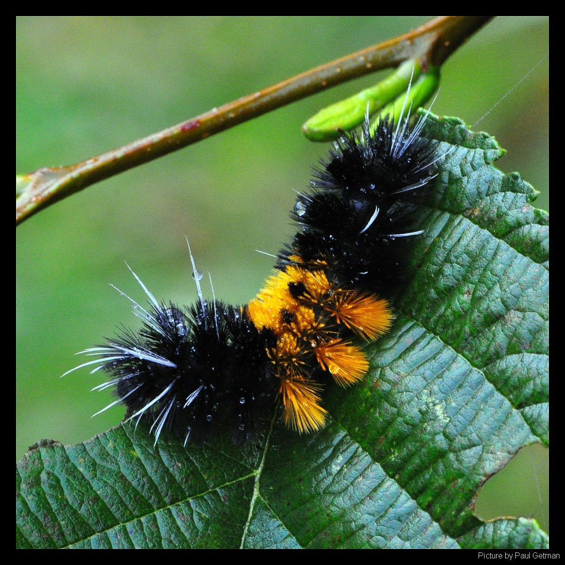 All Black Woolly Bear Caterpillars: Shutterbugs Capturing The World Around Us: Woolly Bear