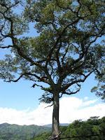 Guapinol Tree