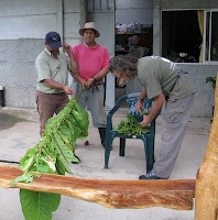 three men harvesting tobacco