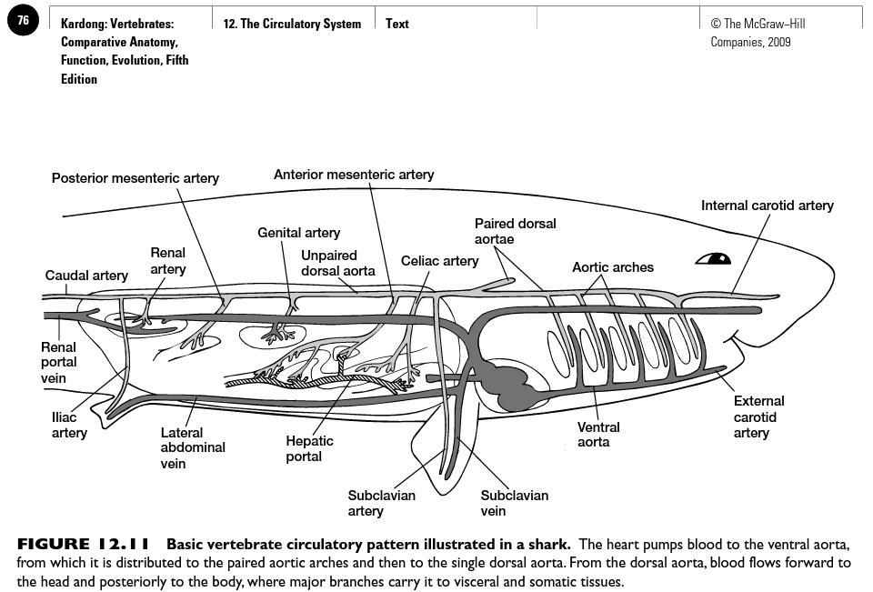 shark+circulatory+sytem shark heart system diagram best secret wiring diagram \u2022