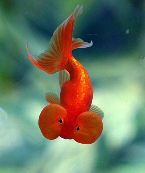 Facts around us bubble eye goldfish egg shaped for What fish can live with goldfish