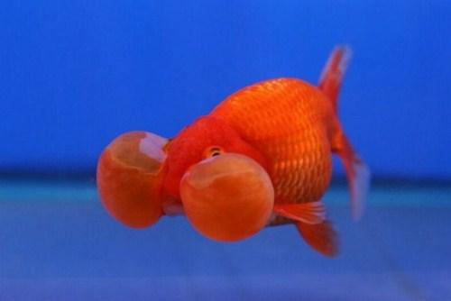 Bubbel Fisch
