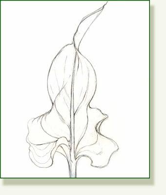 leaf of calla lily zantedeschia black