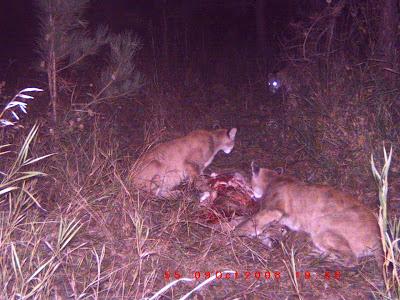 Cougar live cam
