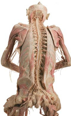 спинний мозок фото