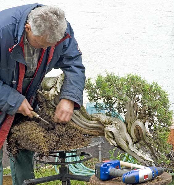 Walter Pall Bonsai Adventures Repotting Of A Famous Rocky Mountain Juniper