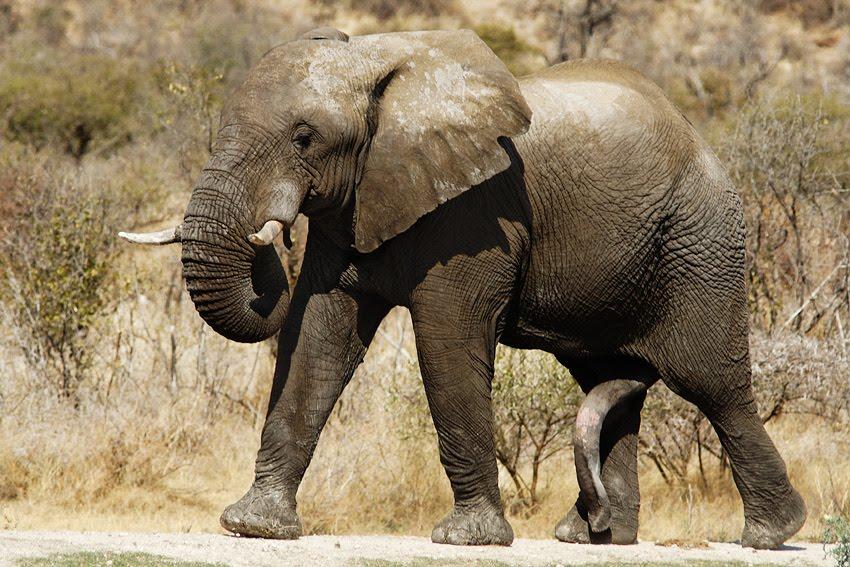 Ce que j'aime: L'éléphant d'Afrique