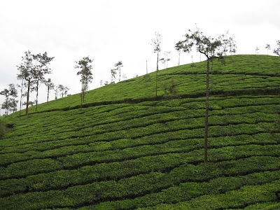 Tea Plantations, Wayanad