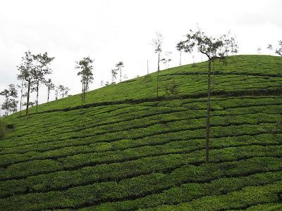 Tea Plantations, Wayanad