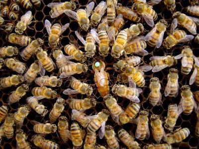 Atraídas pela doçura de pessoa que é o nobre Senador Dias, as abelhas não cumpriram os intentos dos agentes bolchevistas que as soltaram no senado.