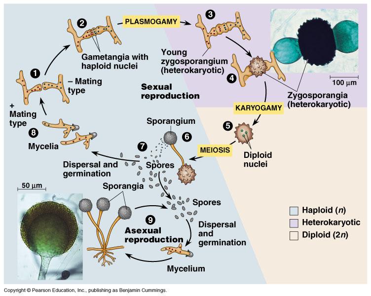 Peranan ascomycota dan basidiomycota asexual reproduction