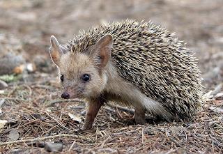 Αποτέλεσμα εικόνας για long eared hedgehog