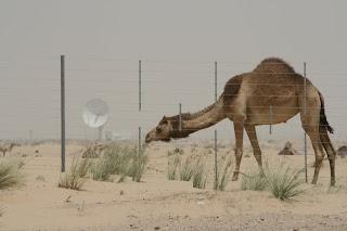 Dubai - Camel, the desert and modern technology