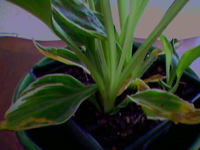 Can Hosta Grow Indoors Leaves Slowly Dying Helpfulgardenercom