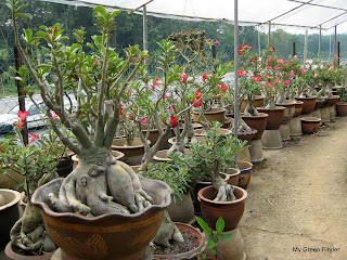If You Love Adenium Obesum Or Desert Rose This Is The Nursery That Should Visit It Has Some Of Coolest And Fascinating Hybrids From Thailand