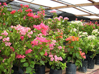 Nursery When You Visit Garden Mart As They Have Many Bougainvilleas In Front Of The This Has Various Types Bougainvileas