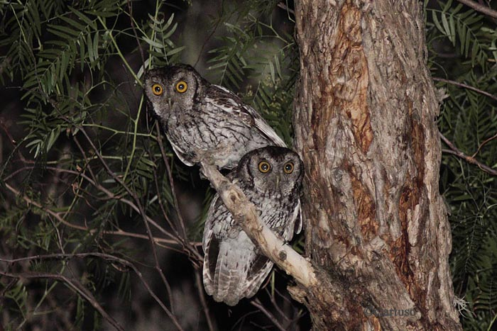 Christian Artuso: Birds, Wildlife: Owls of Peru – Part 2 ... - photo#2