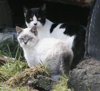 photo of feral Cow Cat and Siamese cat friend
