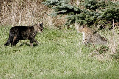 Tomcats looking for a fight, photo