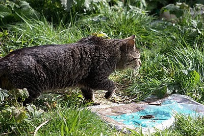 a lonely feral tabby cat, looks at me - photo