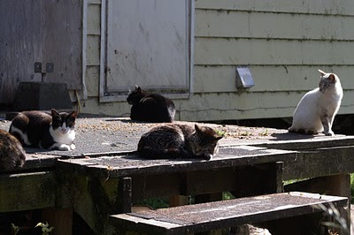 several feral cats at feeding time