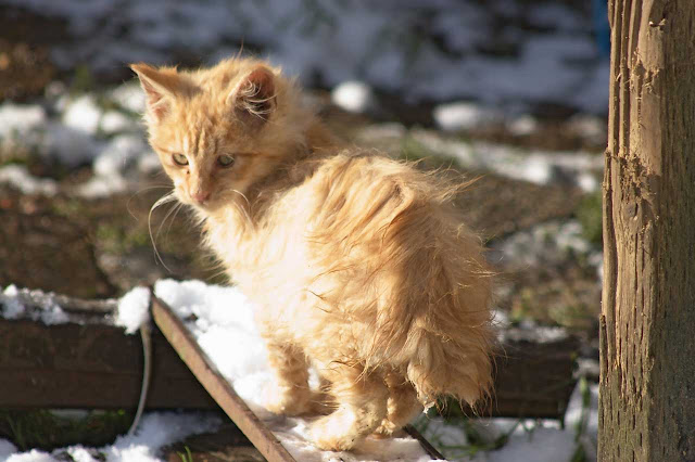 Fluffy orange bobtail kitten in the snow