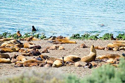 Valdes Peninsula Sea Lion