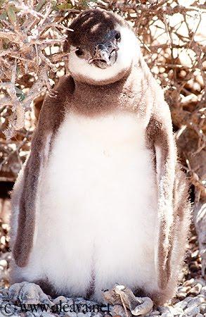 Pingüino de Magallanes en Península Valdés