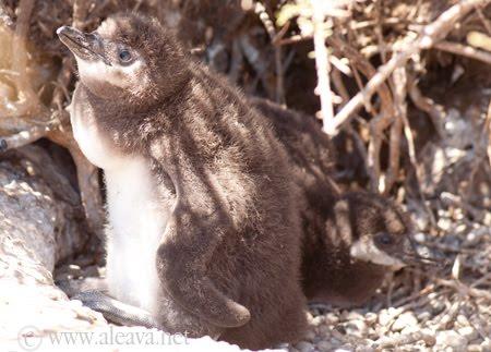 Los Pingüinos y su enorme tamaño a 45 días de nacidos