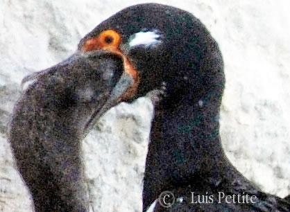 cormoran alimentando a su cria en Peninsula valdes