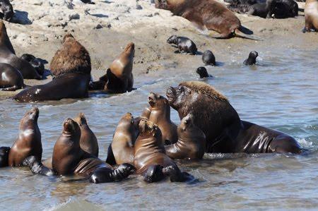 Lobería punta piramides crias de lobo marino en Península Valdés