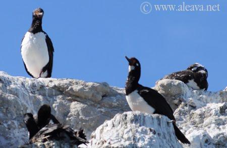 Las crias de los Cormoranes Roqueros creciendo en Peninsula   Valdes