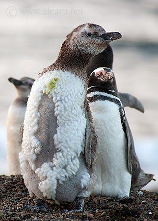 Pingüinos de Magallanes muda de plumón