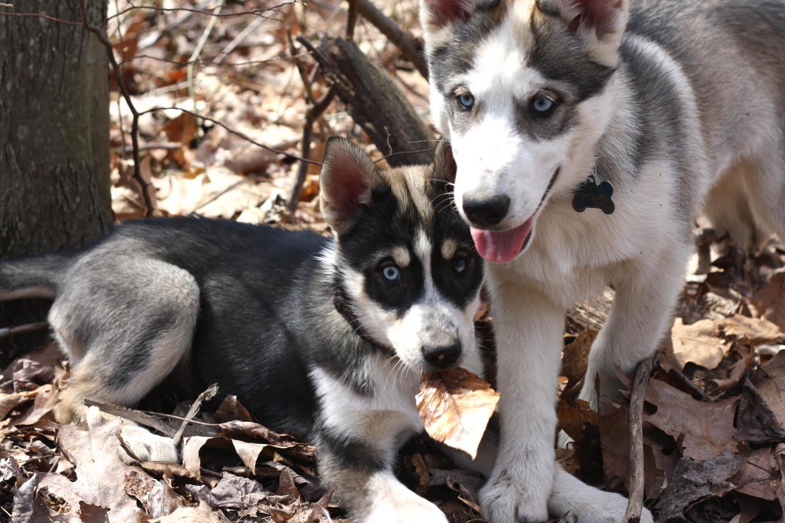 Husky Puppy Wont Eat Dry Food