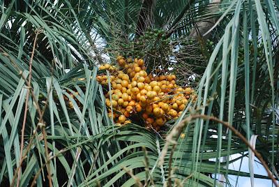 Pindo Palm Jelly
